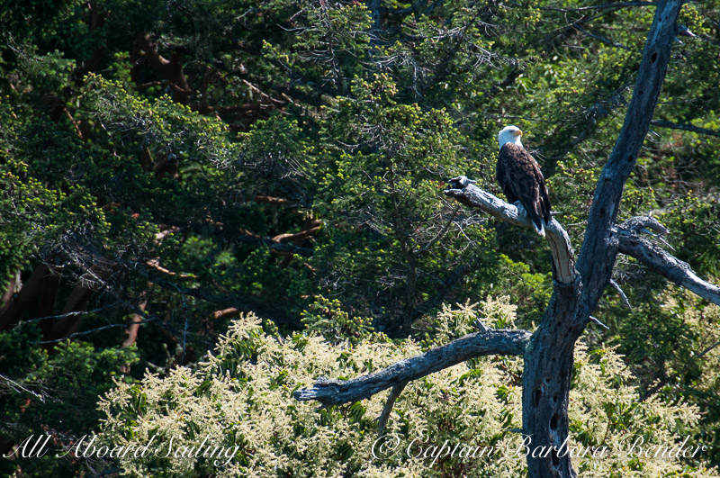 Bald eagle above the flowering Pacific Madrone tree, San Juan islands