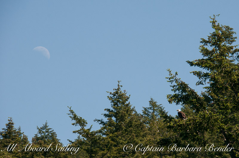 Bald eagle under half moon
