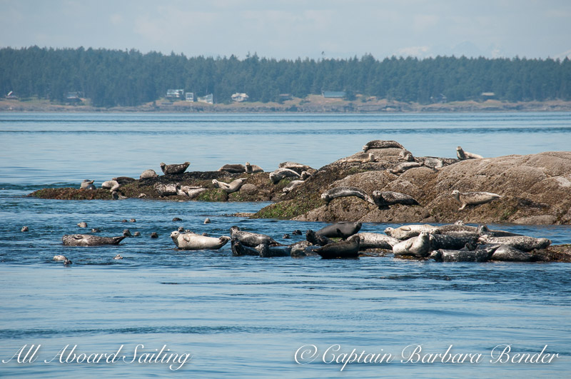 Harbor seals on Bare Island