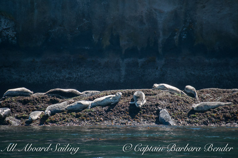 Harbor seals, Skipjack Island