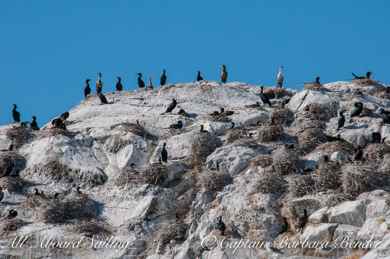 Pelagic & Double-Crested Cormorants, Mandarte Island