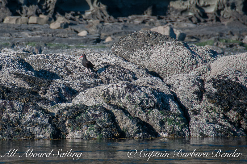 Black oyster catcher, the Cactus Islands