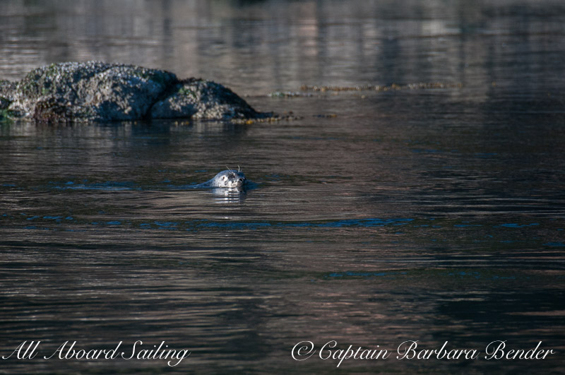 Harbor seal in his/her element, Flattop Island