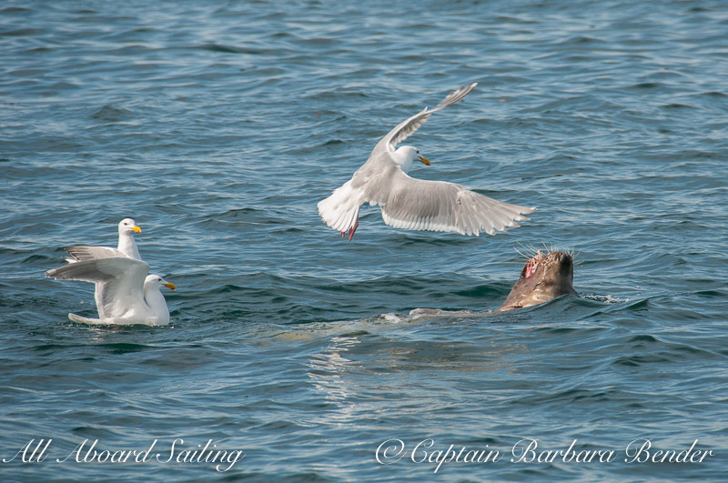 Gulls trying to steal a piece of fish from a sea lion