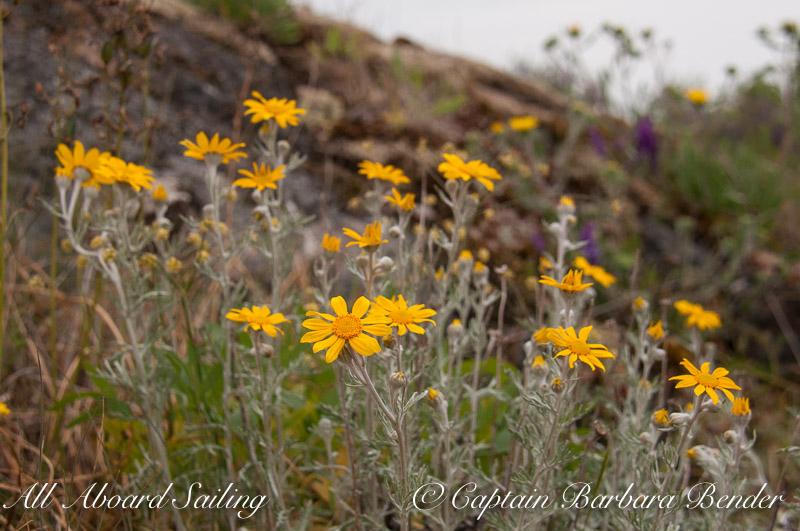 Eriophyllum lanatum - Oregon sunshine/Wooly sunflower