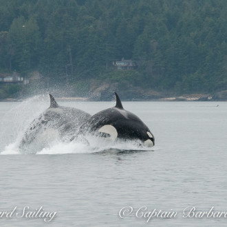T Party : Twenty Transient Orcas North from San Juan Island