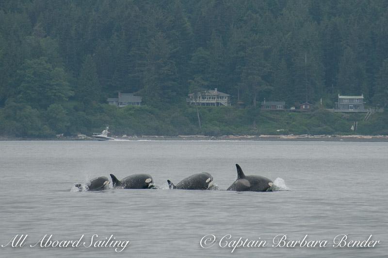 Transient Orcas Porpoising