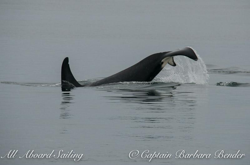 Transient Orca T65A2 Tail Lob