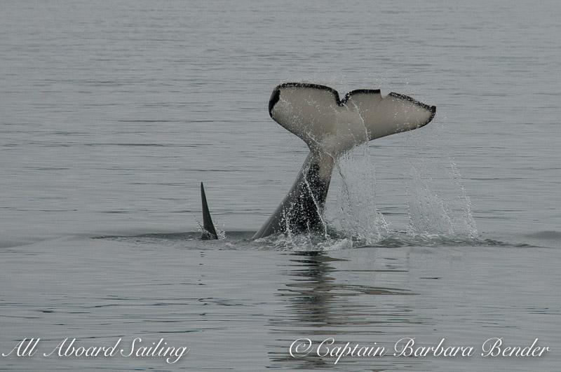 Biggs killer whale T65A2 Tail Lob