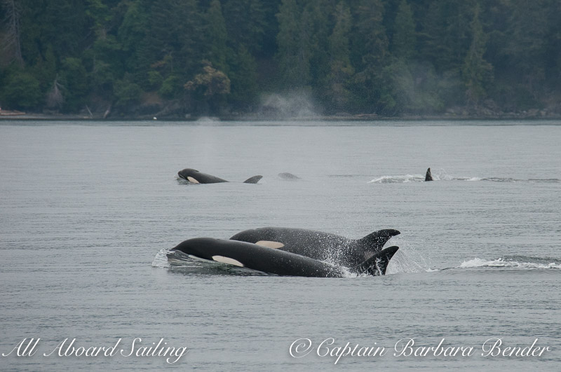 Biggs 'Transient' Orcas