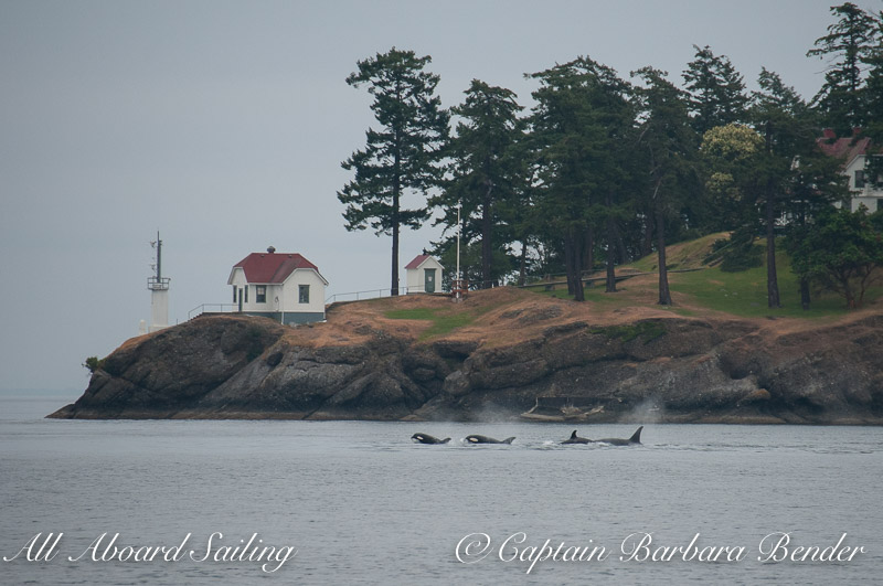 Sailing with Biggs 'Transient' Orcas passing Turn Point Lighthouse