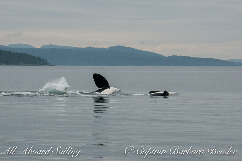 Whale watching with T123A and T123 - multiple Pectoral fin slaps on the water