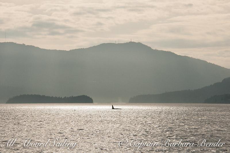 Whale watching sailing Saltspring Island