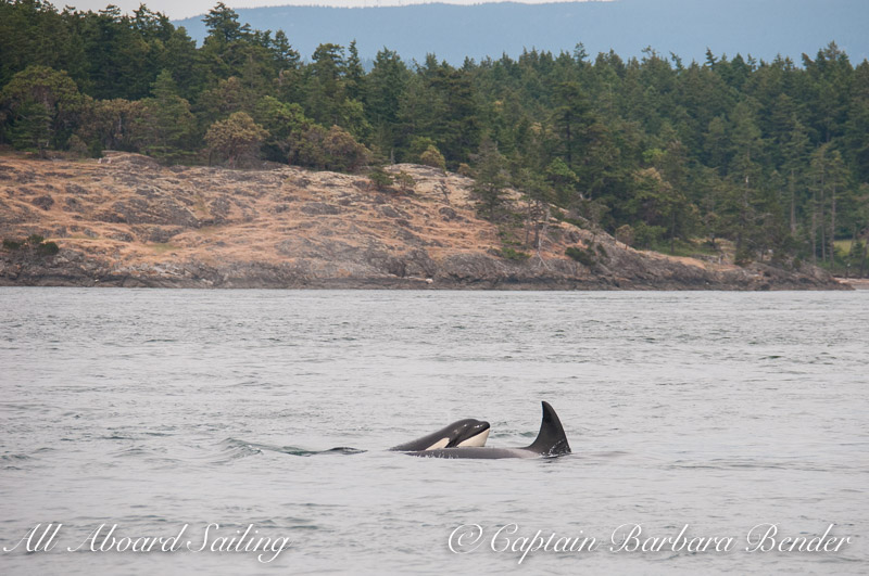 T36A with a calf popping up behind her
