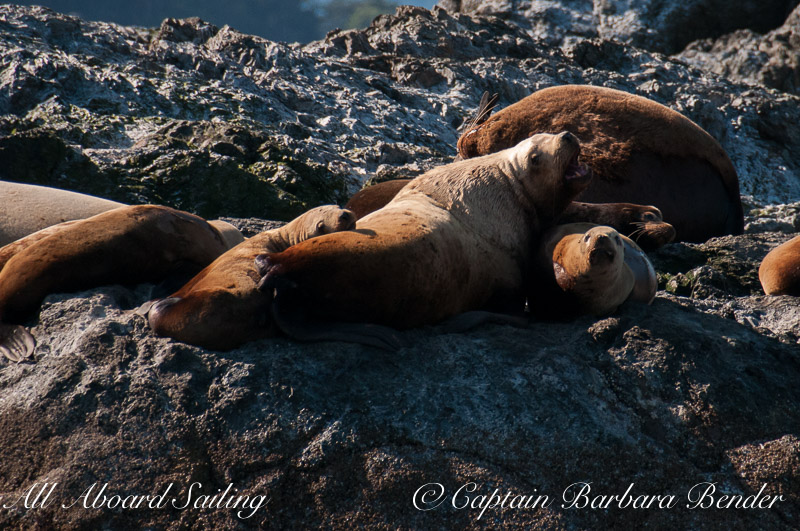 Steller sea lions and one California sea lion