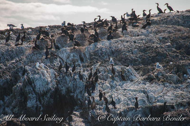 Cormorant colony on Hall Island, South of Lopez Island