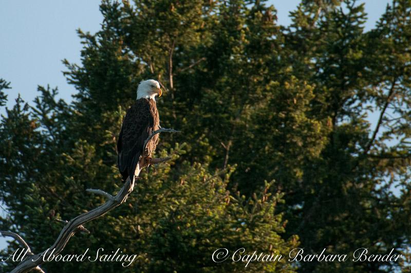 Bald Eagle, Shaw Island