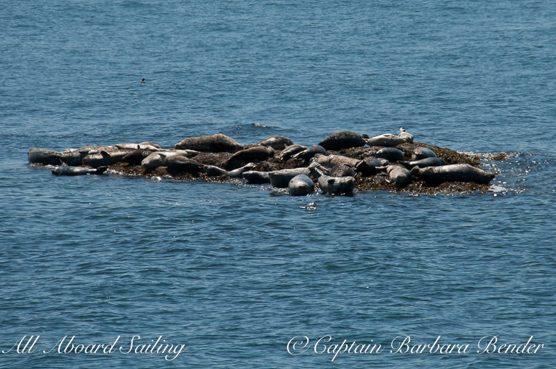 Harbor Seals, Yellow Island