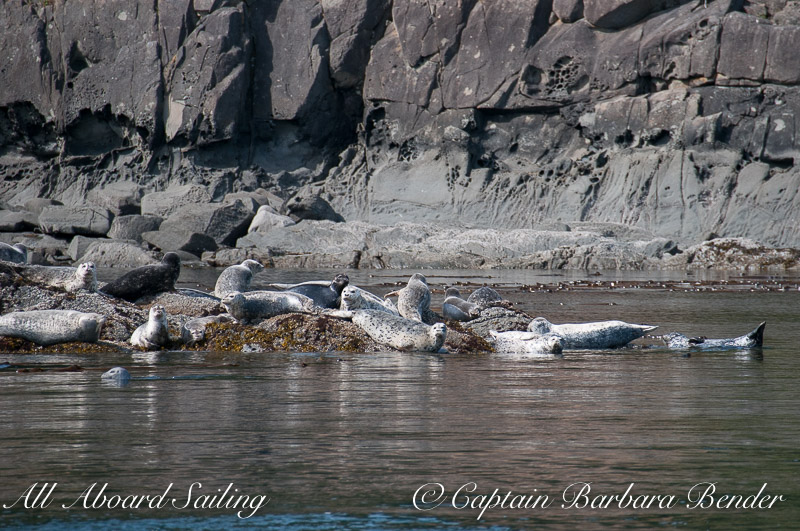 Harbor Seals, Cactus Island