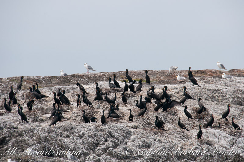 Double crested Cormorant Colony