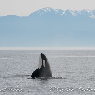 Sailing with T46Bs Transient Orca family