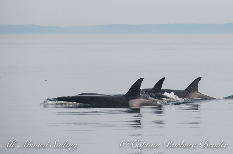 Transient Orca family