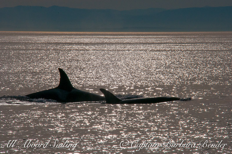 Transient orca silhouettes