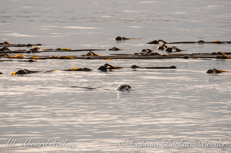 Harbor Seal in Kelp