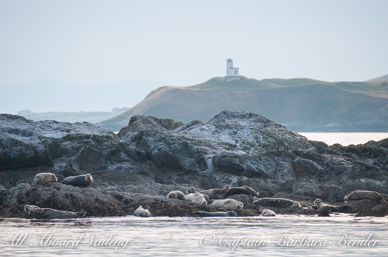 Harbor Seals with Cattle Point Lighthouse