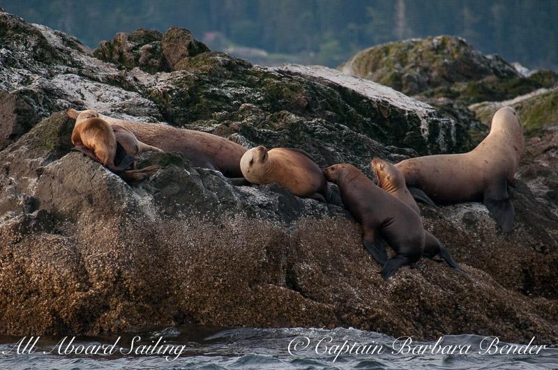Stellers Sea Lion nursing