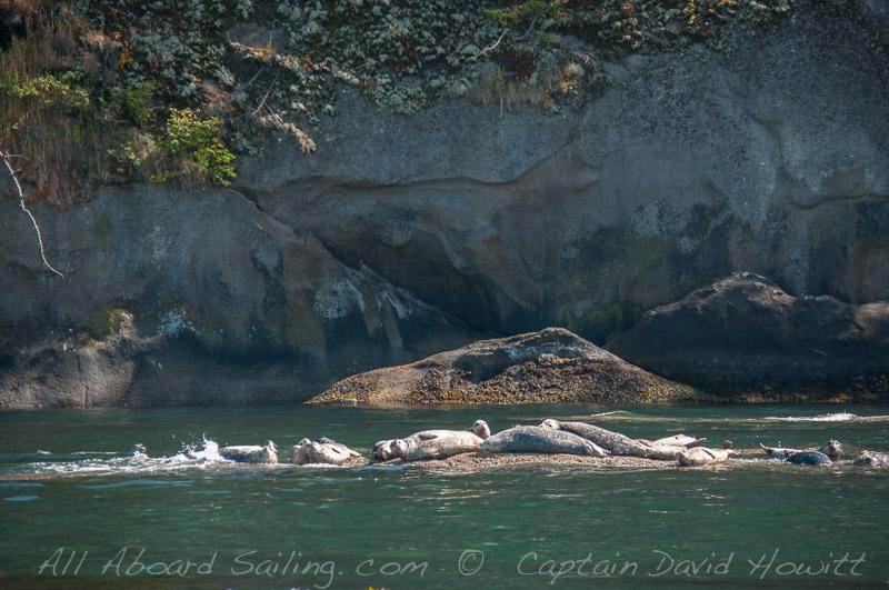 Harbor Seals Skipjack Island