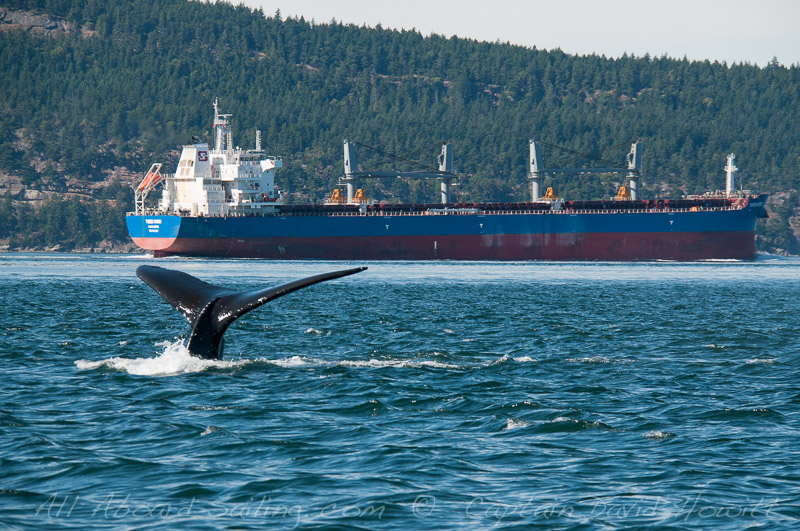 Humpback Whale in Shipping Lane of Boundary Pass