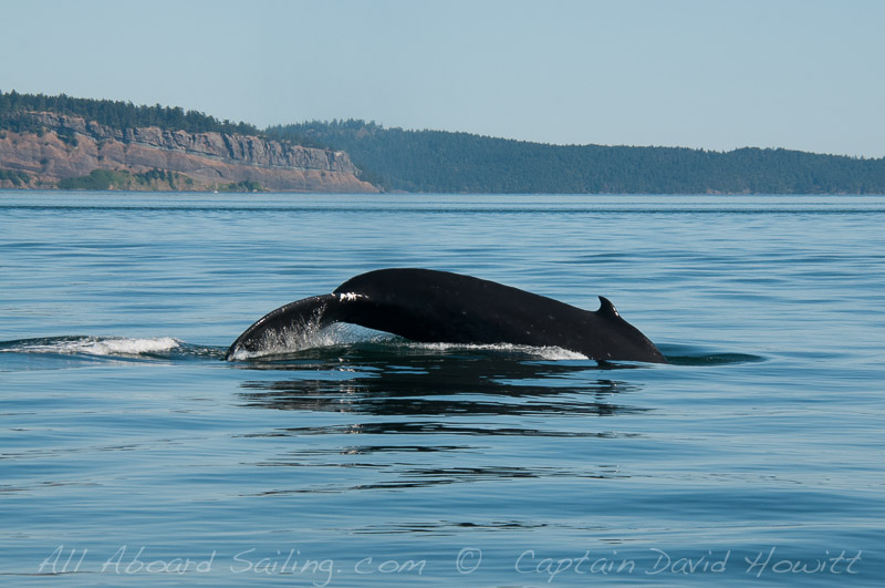 Humpback whale Boundary Pass