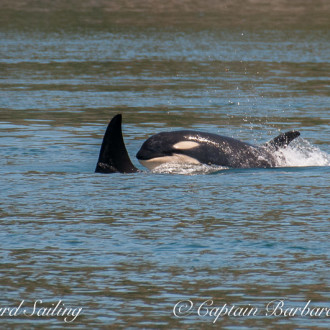 Resident orcas meet Transients