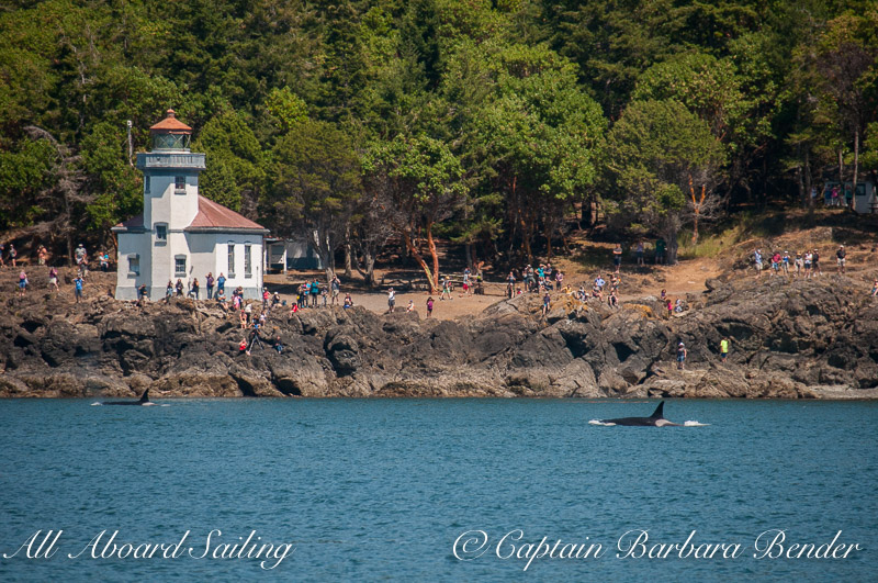 """Orcas exciting folks at Lime Kiln Point State Park aka """"Whale Watch Park"""""""