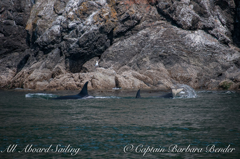 L55 with L118 along Kellett Bluff. L118 was doing tail lobs continuously throughout the day