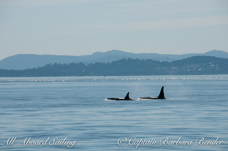 L90 Ballena with L92 Crewser heading down island just before he charged at the transient orcas going north in Haro Strait