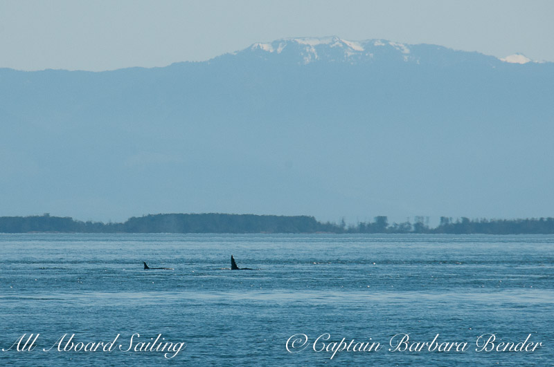 Transient orcas T60 and T60C cruising up Haro Strait just after killing a seal at Lime Kiln Point State Park in front of dozens of onlookers. This photo was taken moments before the Residents charged in their direction.