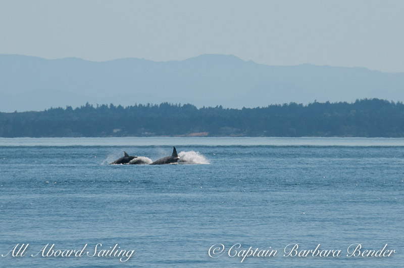 T60 and T60C high speed porpoising away from the Resident orcas.