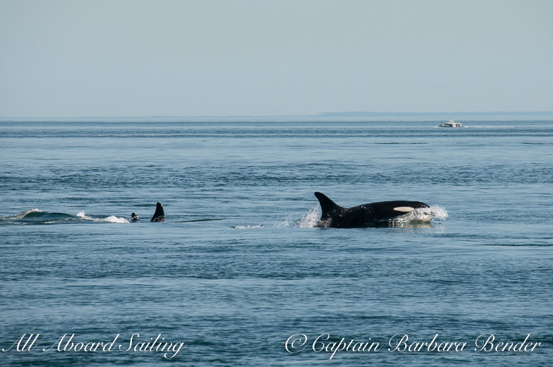 L47 and family with a sudden direction change towards the transients orcas