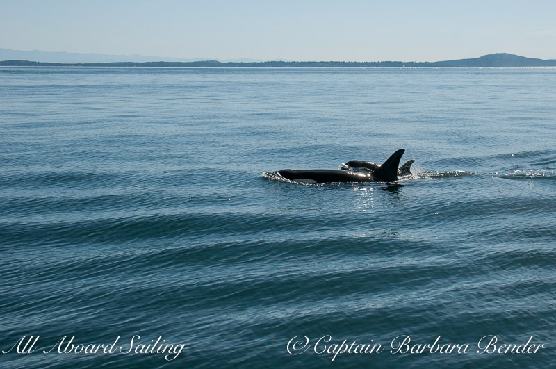 L91 Muncher with her baby boy, born 2015, joining in the frenzy to chase of the transients