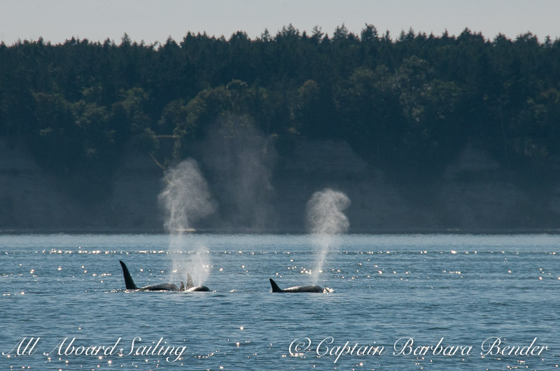 We left the resident orcas to check out the transients, T60's and T2B, who were near Halibut Island
