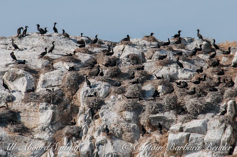 Cormorant Colony on Mandarte Island, Canada
