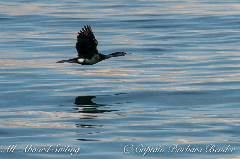 Pelagic Cormorant flying towards the colony up on the rocky cliff