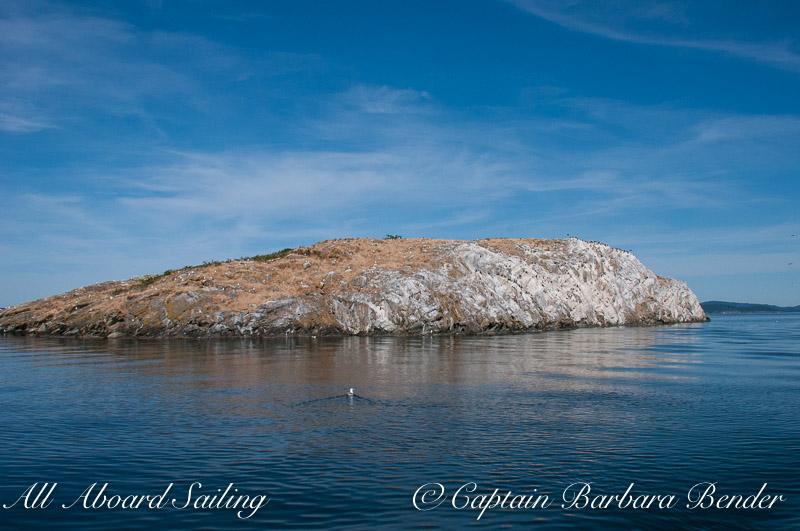 Mandarte Island - Cormorant colony on the cliff face