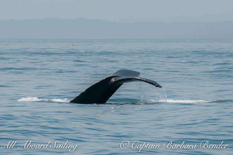 Humpback Whale off South Beach, San Juan Island