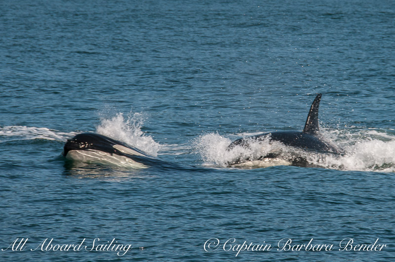 Southern Resident Orcas horsing around