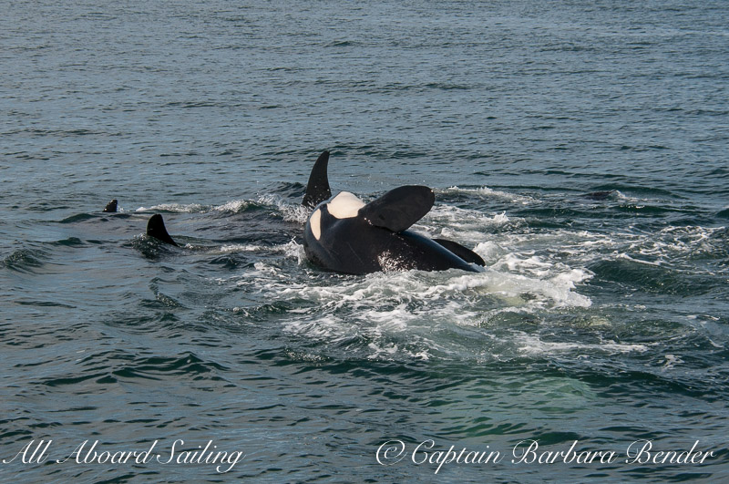 Orca sliding off another's back - three times in a row!