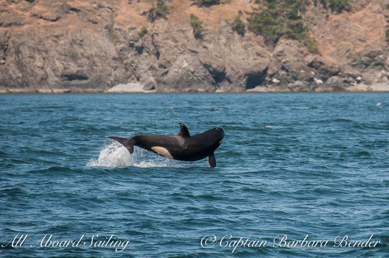 Calf breach - We think this was J51