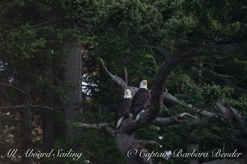 Pair Bald Eagles